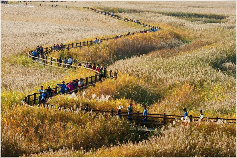 [Travel to Korea] A must visit festival if you are in Korea in autumn, Suncheon Bay Reeds Festival